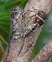 CicadaUnknown08012013ForWeb_9999 - Diceroprocta viridifascia - male - female