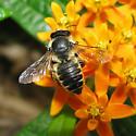 Leaf-cutting Bee - Megachile centuncularis? - Megachile centuncularis - female