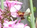 Sphinx Moth ID? - Hemaris thysbe