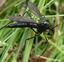 Black pointed bug - Nephrotoma altissima