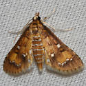 Hodges #5149 – Niphograpta albiguttalis – Waterhyacinth Moth - Niphograpta albiguttalis