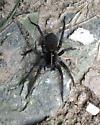 Large Spider in Ohio - Tigrosa georgicola
