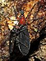 Dilophus sp.? - Dilophus - male - female