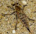 2011 Sandy Hook Bioblitz Fly #3 - Efferia albibarbis - female