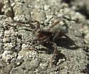 Small Wolf Spider attempting to Balloon/Kite