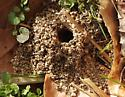 Mound-building bees - Colletes