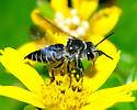 Another bee - Coelioxys sayi - female
