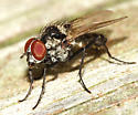 Root-maggot fly - Anthomyia oculifera - male