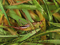 138608 - Conocephalus brevipennis - female