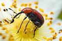 Red weevil - Merhynchites bicolor