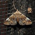 Waterlilly Leafcutter Moth - Elophila obliteralis
