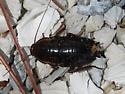 florida woods roach - Eurycotis floridana