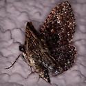 Large Moth - Disclisioprocta stellata