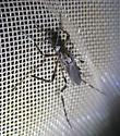 unknown big mosquito - Psorophora ciliata