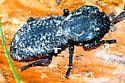 Phloeodes (Nosoderma) sp. - Phloeodes diabolicus