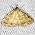 Pale-winged Crocidiphora Moth - Crocidophora tuberculalis