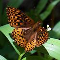 Fritillary sp. butterfly - Speyeria hesperis