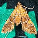 Nebulous Munroessa - Elophila nebulosalis