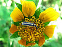 Soldier Beetle ID? - Chauliognathus lewisi