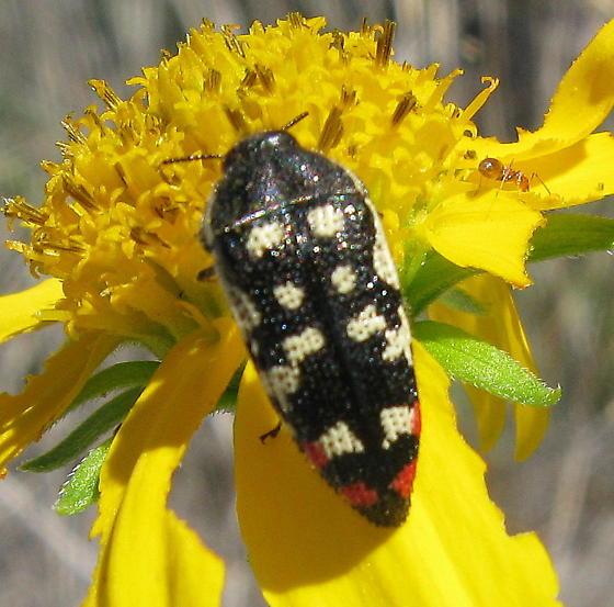 Acmaeodera paradisjuncta - Acmaeodera disjuncta