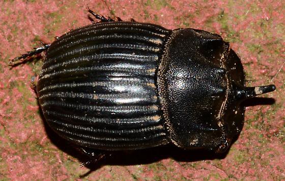 Rhinoceros Beetle? - Copris fricator