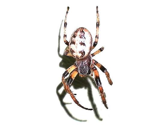 Furrow Orbweaver - Larinioides cornutus - female