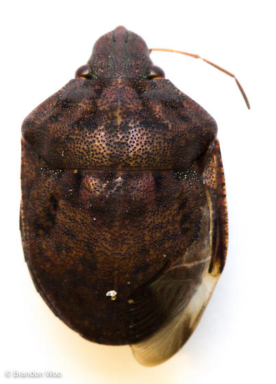 Tetyra bipunctata