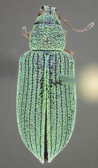Polydrusus - Polydrusus formosus