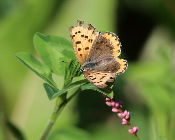 Bronze Copper - Lycaena hyllus - female