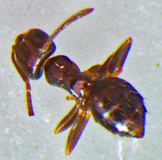TinyBlackAnt1mm - Brachymyrmex patagonicus