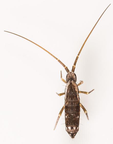 Springtail - Pogonognathellus elongatus