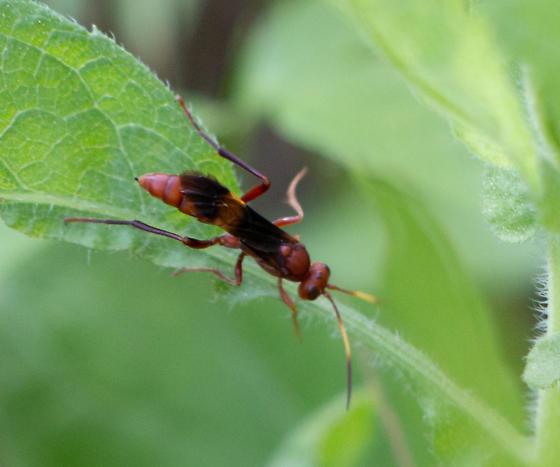 Wasp sp. - Trogomorpha arrogans