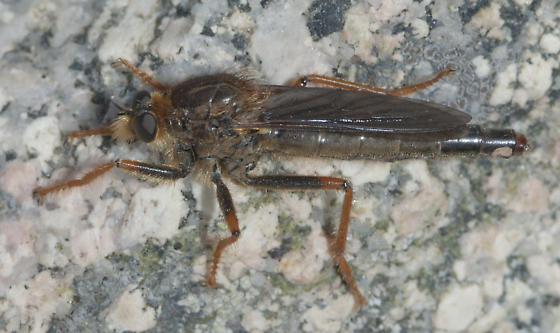 Another Robber Fly, with more red on legs
