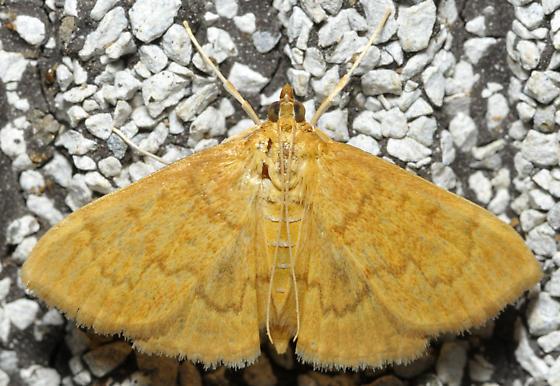 Orange feather moth - Anania extricalis