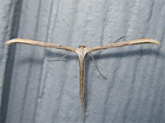Morning-glory Plume Moth - Hodges #6234 (Emmelina monodactyla) - Emmelina monodactyla
