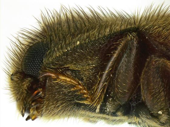 Dryops arizonensis? - Dryops arizonensis