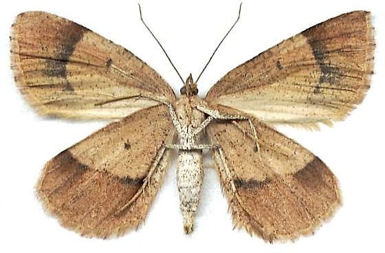 Bordered Fawn Moth - Sericosema juturnaria - female