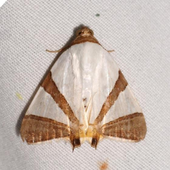 Hodges#8570.1 - Eulepidotis rectimargo