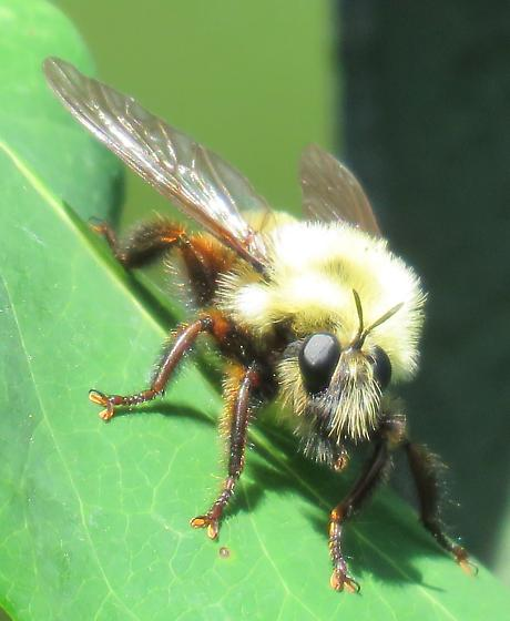 Bee mimic fly - Laphria thoracica
