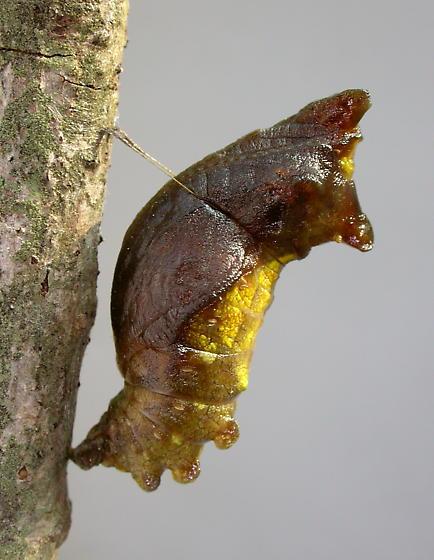 Pipevine Swallowtail Chrysalis - Battus philenor