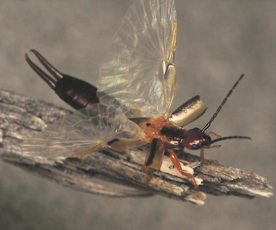 Earwig wings! - Doru taeniatum - female