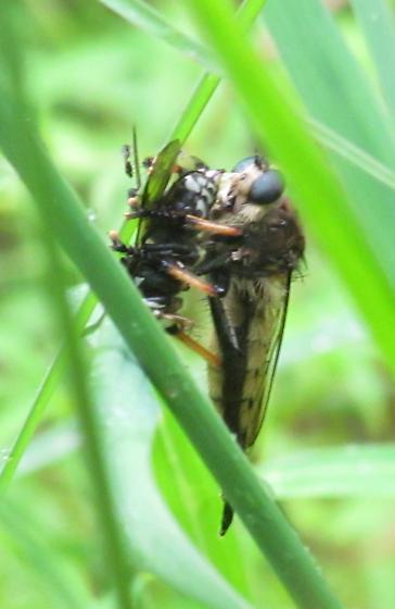 Promachus rufipes? & Dolichovespula maculata - Promachus rufipes - female
