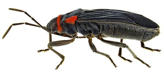 Female, Melacoryphus rubicollis? - Melacoryphus rubicollis - female