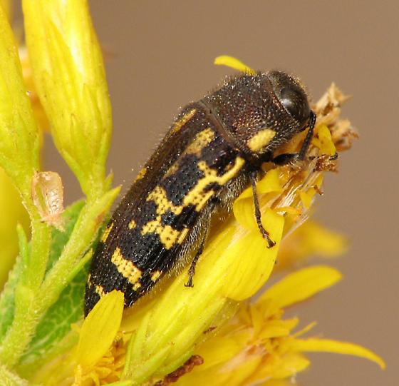 Acmaeodera #3 - Acmaeodera pulchella