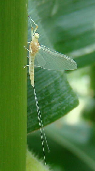 unidentified mayfly - Anthopotamus verticis
