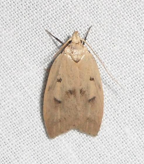 Gold-striped Leaftier Moth - Machimia tentoriferella