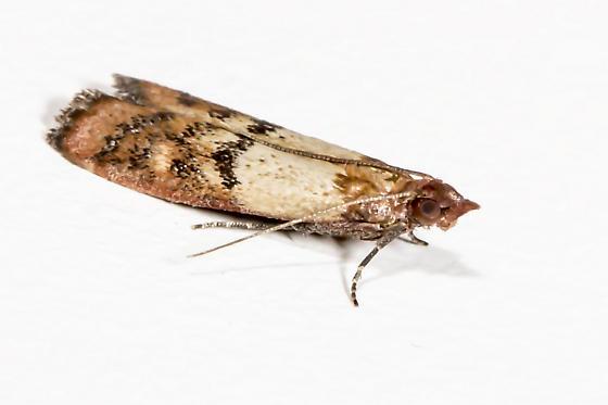 Kitchen Moth   Plodia Interpunctella