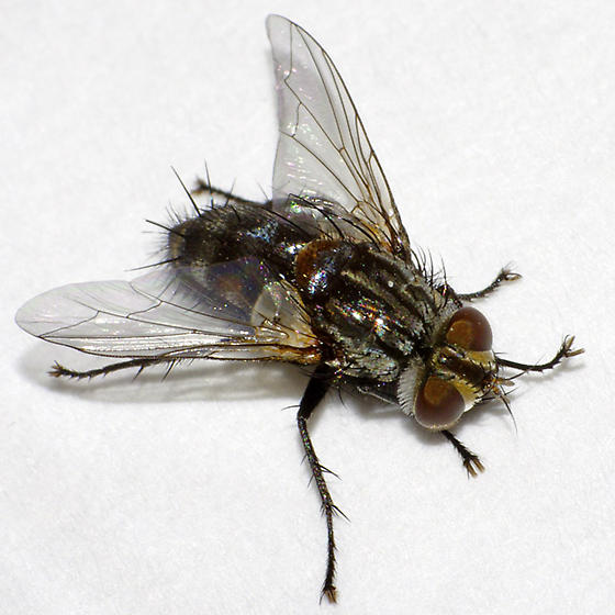 Tachinid fly - male