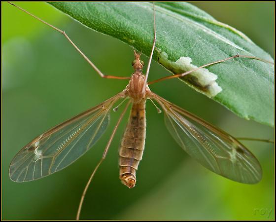 Large Crane Fly - Tipula bicornis - female