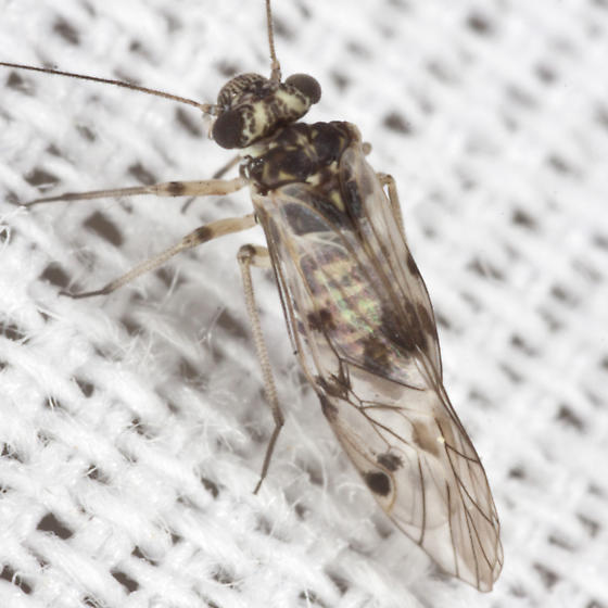 Common Barklouse - Indiopsocus lanceolatus